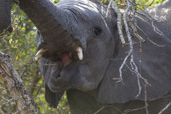 Elephant eating tree branches Royalty Free Stock Photography