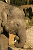 Elephant eating a twig Royalty Free Stock Photography