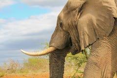 Elephant eating vegetation stock image