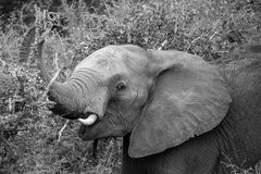Elephant Eating. A young elephant eating some nice yummy leaves Royalty Free Stock Photo