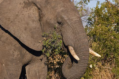 Elephant eats fresh leaves of the bush. In South Africa, using the trunk Royalty Free Stock Image