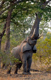 Elephant eats the young shoots of the tree. Zambia. Lower Zambezi National Park. Stock Photo