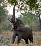 Elephant eats the young shoots of the tree. Zambia. Lower Zambezi National Park. Royalty Free Stock Images