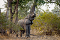 Elephant eats the young shoots of the tree. Zambia. Lower Zambezi National Park. Royalty Free Stock Image