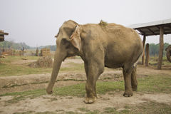Elephant at the elephant breeding center chitwan Stock Photos