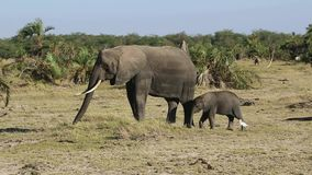Elephant and elephant eating grass in an oasis in the savanna in the dry season