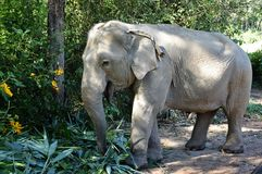 Elephant at the elephant farm. National park in sunshine day stock photography