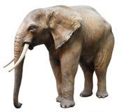Elephant. Isolated on white. Elephant, Elephant. Isolated on white Royalty Free Stock Images
