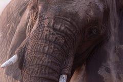 Elephant. In Namibia`s Etosha National Park royalty free stock images