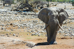 Elephant (Elephantidae) in Etosha National Park, N Royalty Free Stock Images