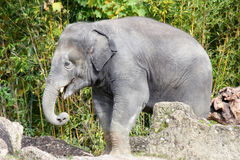 Elephant   (elephantidae) Royalty Free Stock Images