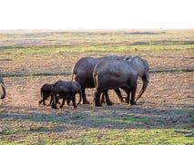 Elephant. S in african Nationalpark Masai Mara Royalty Free Stock Photography