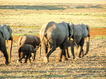 Elephant. S in african Nationalpark Masai Mara Royalty Free Stock Photos