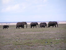 Elephant. S in african Nationalpark Masai Mara Stock Images