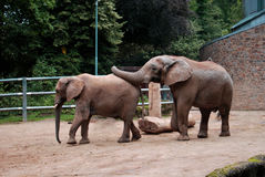 Elephant. S are busy they want mate Royalty Free Stock Photo
