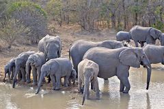Elephant Elephants Group Drinking Water Savannah Stock Images