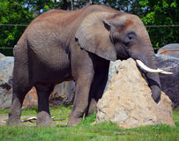 Elephant. S are large mammals of the family idae and the order Proboscidea. Two species are traditionally recognised, the African  Loxodonta africana and the stock photos
