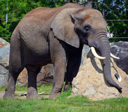 Elephant. S are large mammals of the family idae and the order Proboscidea. Two species are traditionally recognised, the African  Loxodonta africana and the royalty free stock photos