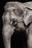 Elephant, Elephants And Mammoths, Black And White, Wildlife Stock Images