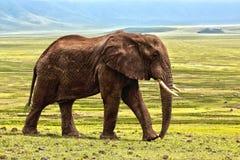 Elephant, Elephants And Mammoths, Terrestrial Animal, Grassland Stock Photo