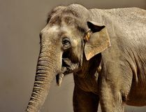 Elephant, Elephants And Mammoths, Terrestrial Animal, Indian Elephant Stock Image