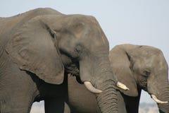 Elephant, Elephants And Mammoths, Terrestrial Animal, Indian Elephant Royalty Free Stock Images