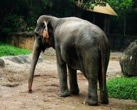 Elephant, Elephants And Mammoths, Terrestrial Animal, Indian Elephant Royalty Free Stock Image