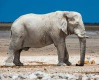 Elephant, Elephants And Mammoths, Terrestrial Animal, Indian Elephant Stock Image