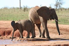 Elephant, Elephants And Mammoths, Terrestrial Animal, Wildlife stock images