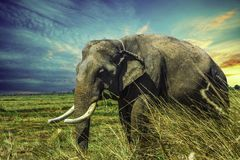 Elephant, Elephants And Mammoths, Wildlife, Indian Elephant