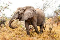 Elephant, Elephants And Mammoths, Wildlife, Terrestrial Animal Stock Images