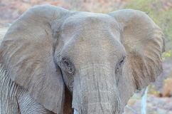 Elephant, Elephants And Mammoths, Wildlife, Terrestrial Animal royalty free stock image