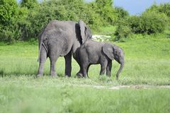 Elephant, Elephants And Mammoths, Wildlife, Terrestrial Animal royalty free stock photography