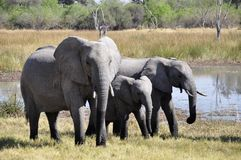 Elephant, Elephants And Mammoths, Wildlife, Terrestrial Animal royalty free stock photo