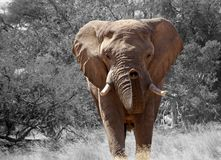 Elephant, Elephants And Mammoths, Wildlife, Terrestrial Animal stock photography