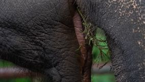 Elephant elephas maximus eating grass. Close up view of mouth and tongue stock footage
