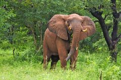 Elephant emerging from the bruhs royalty free stock photos