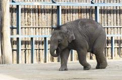 Elephant in the enclosure. A zoo in Hungary Royalty Free Stock Photo