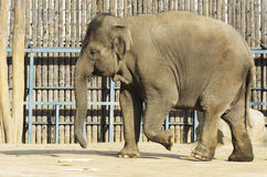 Elephant in the enclosure. A zoo in Hungary Stock Image