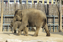 Elephant in the enclosure. A zoo in Hungary Royalty Free Stock Images