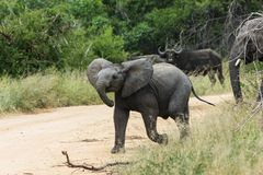 Small Elephant walking with the herd. stock photo