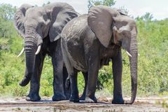 Elephant standing at a watering hole. royalty free stock images