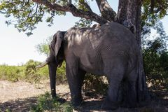 Elephant underneath a tree. Encountered this Elephant while visiting the famous Kruger National Park in South Africa stock photo