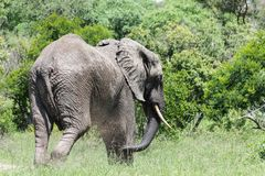 Elephant bull about to enter the dense forest. stock image
