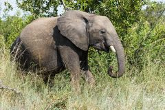 Elephant strolling through the bushes. royalty free stock photos