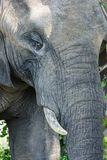 Close up portait of an Elephant royalty free stock images