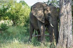 Elephant standing next to a large tree. stock photos