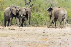 Pair of Elephant meet hostile Elephant bull. royalty free stock photography