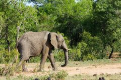 Elephant walking on a forest pathway past dense bushes and trees. stock image