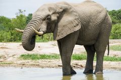 Elephant drinking at a watering hole in the park. stock photos
